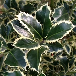 """Ilice variegat (Ilex aquifolium """"Variegata"""")"""