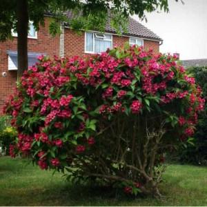 "Veigela cu flori roz închis (Weigela florida ""Eva Rathke"")"