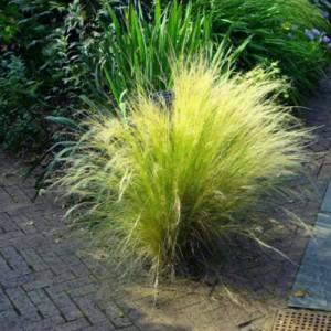 """Iarbă ornamentală verde cu galben (Stipa tenuissima """"Pony Tails"""")"""
