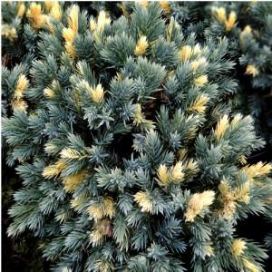 """Ienupăr compact albastru cu galben (Juniperus squamata """"Floreant"""")"""