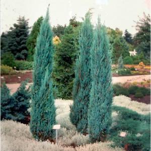 "Ienupăr columnar albastru (Juniperus virginiana ""Blue Arrow"")"