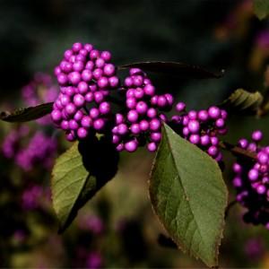 "Callicarpa cu fructe mov (Callicarpa bodinieri ""Profusion"" )"