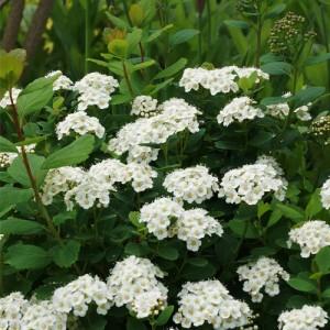 """Cununița cu flori albe (Spiraea betulifolia """"Tor"""")"""