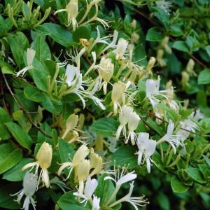 "Caprifoi (Lonicera japonica ""Halliana"")"