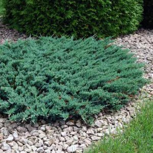 "Ienupăr orizontal albăstrui (Juniperus horizontalis ""Wiltonii"")"