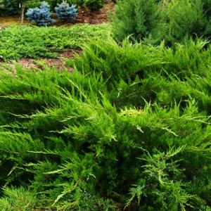 "Ienupăr verde (Juniperus x media ""Mint Julep"")"