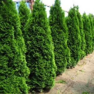 "Tuia verde 40-60 cm (Thuja occidentalis ""Smaragd"")"