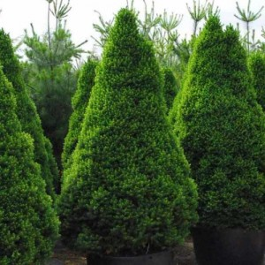 """Molid conic verde (Picea glauca """"Conica"""")"""