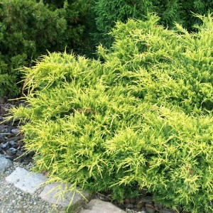 "Ienupăr verde cu galben (Juniperus x media ""Gold Star"")"