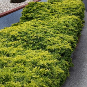 """Ienupăr târâtor galben (Juniperus x media """"Old Gold"""")"""