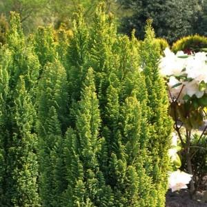 "Chiparos galben (Chamaecyparis lawsoniana ""Ellwood""s Gold"")"