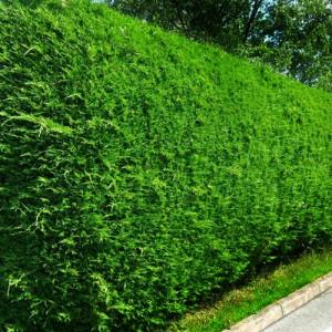 "Leiland verde-albăstrui 80-100cm (""Cupressocyparis leylandii"")"