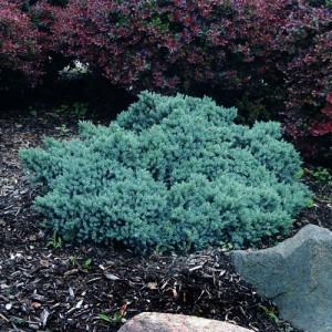 """Ienupăr compact albastru (Juniperus squamata """"Blue Star"""")"""