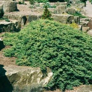"Ienupăr târâtor verde (Juniperus procumbens ""Nana"")"