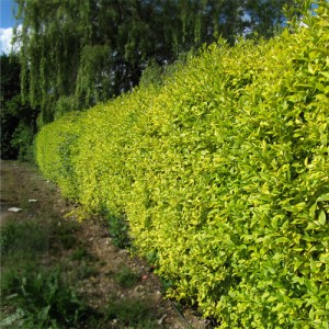 "Lemn cainesc variegat (Ligustrum ovalifolium ""Zafir"")"