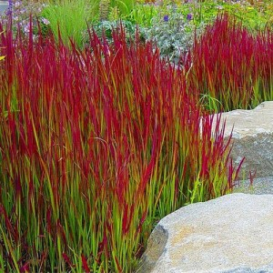 "Iarba roșie (Imperata cylindrica ""Red Baron"")"