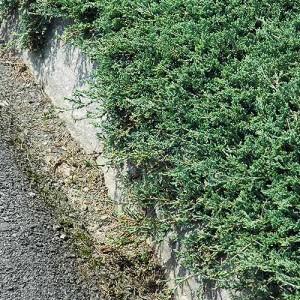 "Ienupăr orizontal verde-albăstrui (Juniperus horizontalis ""Douglasii"")"