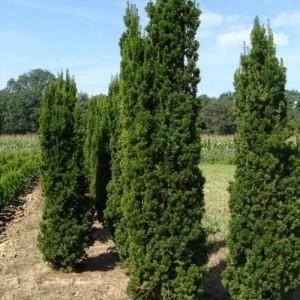 """Tisa fastigiat verde (Taxus media """"Stricta Viridis"""")"""