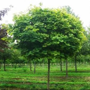 "Arțar globulos (Acer platanoides ""Globosum"")"