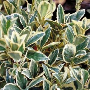 "Evonimus variegat - Euonymus japonicus ""Bravo"""