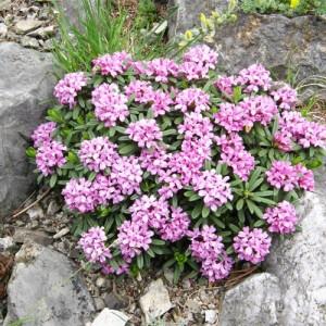 Tămâiţă de munte cu flori roz - Daphne cneorum