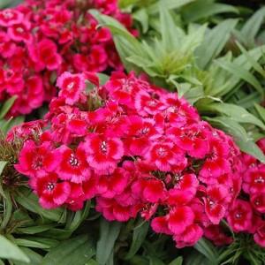 """Garofiță turcească cu flori roșiatice - Dianthus barbatus """"Barbarini Red"""""""
