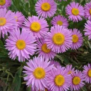 Aster pitic cu flori roz (Aster alpinus 'Happy End')
