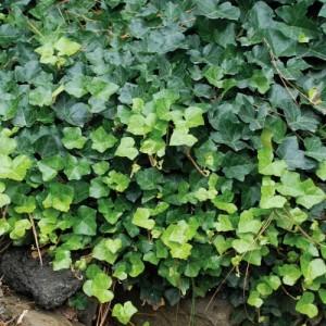 Iederă verde (Hedera helix 'Thorndale')