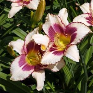 Crin de vară cu flori crem cu centrul și marginea mov (Hemerocallis 'Chicago Picote Memory')