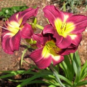 Crin de vară cu flori mov spre bordo cu gâtul verde (Hemerocallis 'Chicago Royal Robe')