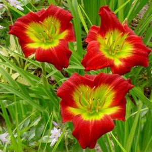 Crin de vară cu flori roșiatice cu gâtul verde (Hemerocallis 'Christmas Is')