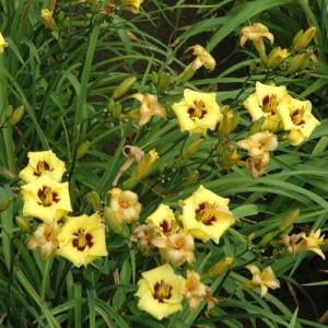 Crin de vară pitic cu flori galbene și inel roșu (Hemerocallis 'Little Bumble Bee')