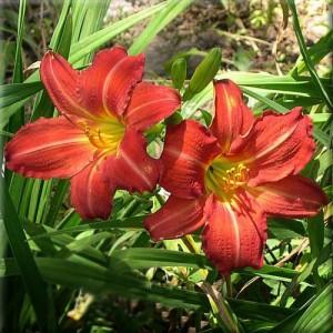Crin de vară cu flori roșiatice (Hemerocallis 'Red Rum')