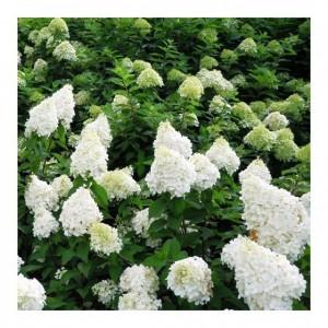 "Hortensie cu flori albe (Hydrangea paniculata (""Polar Bear"")"