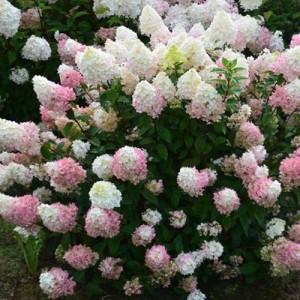 Hortensie altoită pe trunchi înalt (Hydrangea paniculata 'Sundae Fraise')