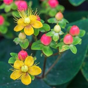 Sunătoare ornamentală (Hypericum × inodorum 'Magical Beauty')