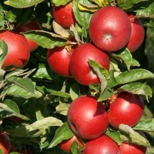 """Măr de toamnă """"Idared"""" MM106"""