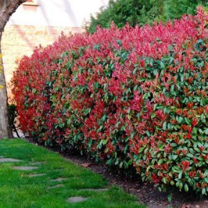 "Photinia mare (Photinia x fraseri ""Red Robin"")"