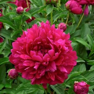 "Bujor roz închis (Paeonia ""Karl Rosenfield"")"
