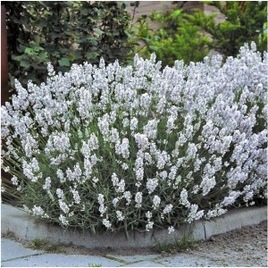 Lavanda cu florile albe (Lavandula x intermedia 'Edelweiss')