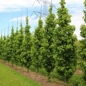 Arbore de gumă fastigiată (Liquidambar styraciflua 'Slender Silhouette')