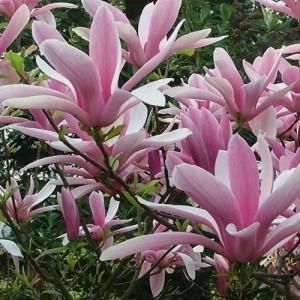 Magnolia cu florile alb spre roz (Magnolia 'George Henry Kern')