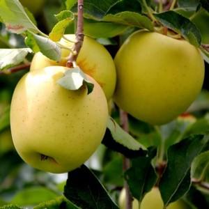 """Măr pitic iarnă  """"Golden Delicious"""""""