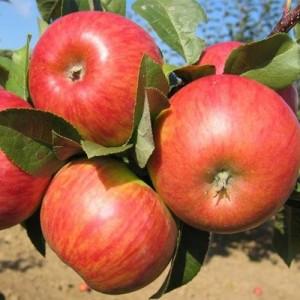 """Măr de iarnă """"Topaz"""""""