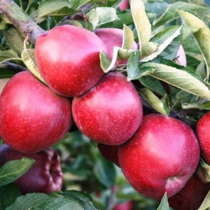 """Măr de iarnă """"Florina"""""""