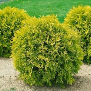 "Tuia pitic auriu (Thuja occidentalis ""Mirjam"")"