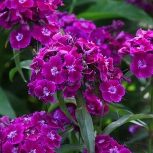 """Garofița turcească cu flori roșu-purpuriu - Dianthus barbatus """"Barbarini Purple"""""""