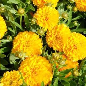 "Florea ""Ochiul fetei"" - Coreopsis ""Solana Golden Sphere"""