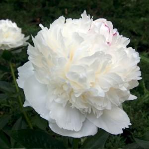 Bujor chinezesc cu florile albe (Paeonia lactiflora 'White Sarah Bernhardt')