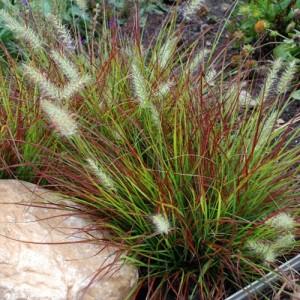 Iarbă chinezească pitică roșiatică (Pennisetum alopecuroides 'Burgundy Bunny')